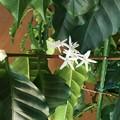 写真: コーヒーの木の花