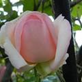 Photos: バラ ピエール・ドゥ・ロンサール