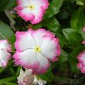 写真: ビンカ ウェービィ ホワイト&ピンク
