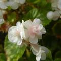 写真: 八重咲きベゴニア
