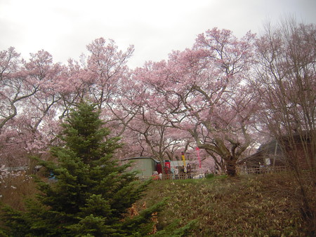 高遠桜170417