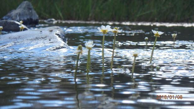 写真: 梅花藻