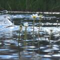 Photos: 梅花藻