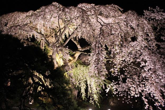 ライトに揺れる桜