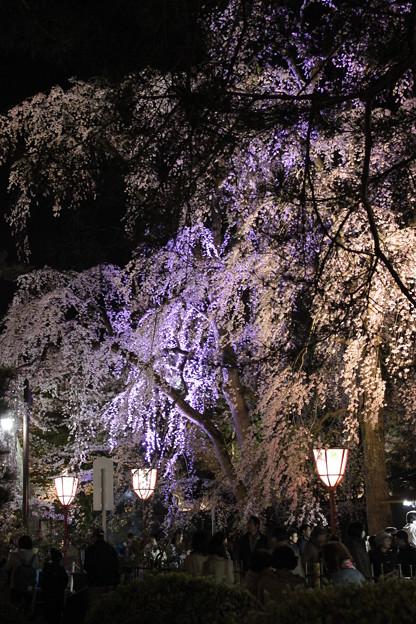 暗闇に桜・・・