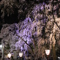 Photos: 暗闇に桜・・・