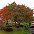 写真: 今年の欅の輝き