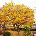 写真: 黄金色に染まった欅