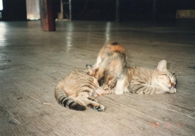 ミャンマー インレー湖の芸をする猫 Jumping cats ,now sleeping