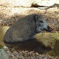 Photos: 生きるとは食うことと見つけたり(『落葉隠』ヨリ) Wild boar in  Mt.Rokkō