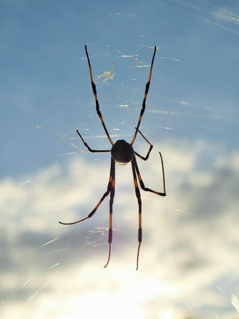 ★小雪(しょうせつ)の朝泰然と女郎蜘蛛 Jorō spider