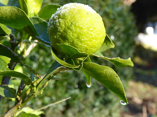 柚子の霜解け Frost on a yuzu fruit