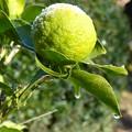 写真: 柚子の霜解け Frost on a yuzu fruit
