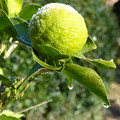 Photos: 柚子の霜解け Frost on a yuzu fruit