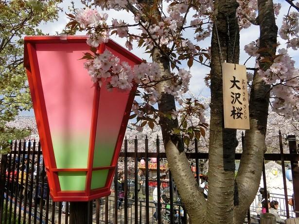 45大沢桜2