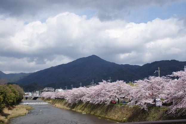 Photos: 比叡山と高野川の桜
