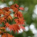春の紅葉2