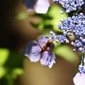 紫陽花とアブちゃん 2