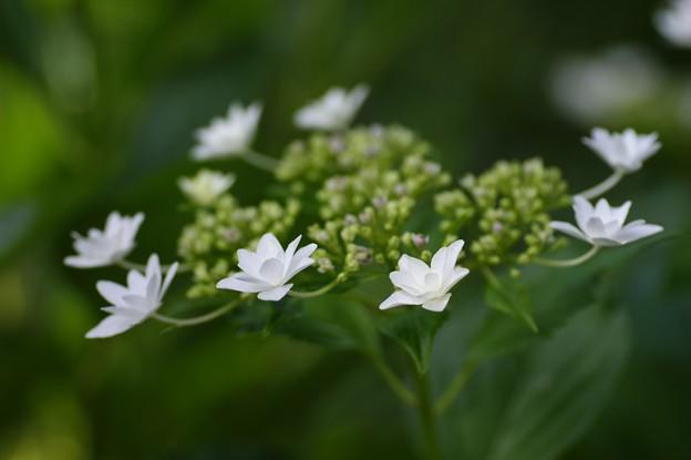紫陽花(墨田の花火)