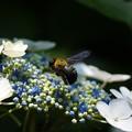 写真: 紫陽花にクマちゃん
