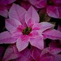 写真: プリンセチア ピンクホワイト