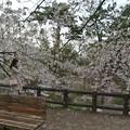 写真: 桜の横顔