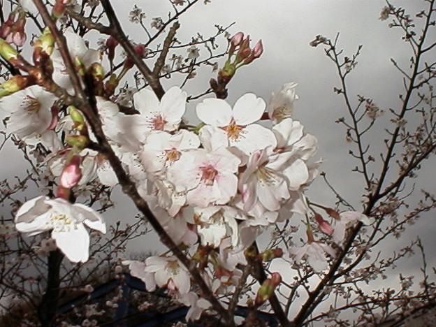 奥野ダムの桜