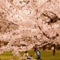 写真: 小金井公園的春櫻