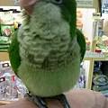 写真: オキナインコ。 4月生まれ...