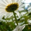 写真: 庭先の野菊かな