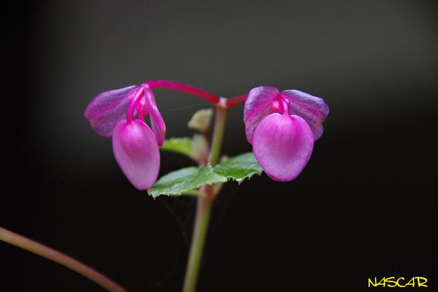 シュウカイドウ(秋海棠)の蕾 07102017
