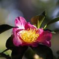 写真: サザンカ(山茶花) 27102017