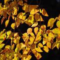 写真: ハナノキ(花の木) 02122017