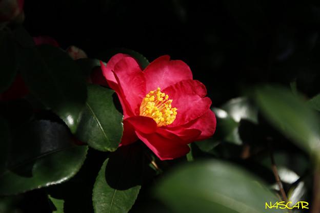 サザンカ(山茶花) 10122017