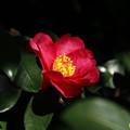 写真: サザンカ(山茶花) 10122017
