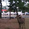 Photos: 奈良の鹿