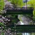 写真: 櫻柳伴水畔