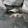写真: スズメの水遊び
