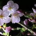 Photos: 桜色