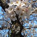 外濠公園の桜2
