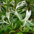白い花・スイカズラ