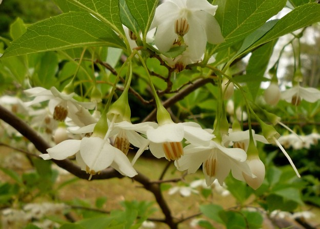白い花・エゴノキ