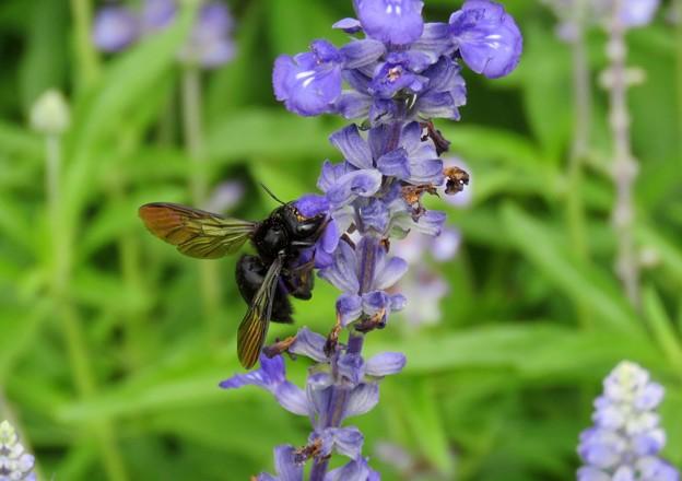 黒いハチ?