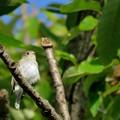 クヌギの木のコサメビタキ