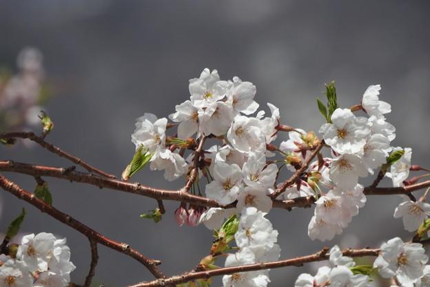 御母衣の桜