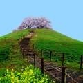 丘の上のサクラ
