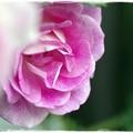 Photos: 薔薇の花びら