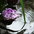 写真: 溺れる紫陽花