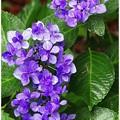 写真: 雨の紫陽花
