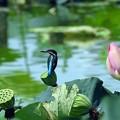 写真: 蓮の花に止まって~